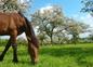 Notre cheval Quorum au verger de pommiers