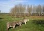 Les ânes disciplinés