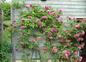 Roses sur les terrasses des