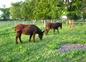 Les ânes et le chien