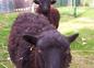 moutons de ouessant