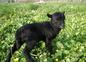 Jeune agneau de ouessant